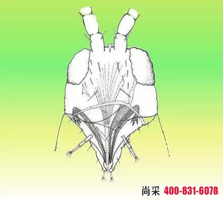 蓟马是刺吸式害虫吗?刺吸式害虫用什么农药?