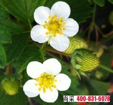 草莓蓟马虫害咬的图片,危害果实图片,附9种防治方法