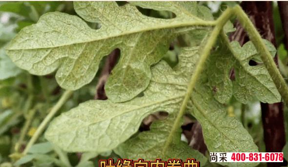 大棚西瓜幼苗如何有效防治蓟马危害,蓟马对西瓜苗的危害症状
