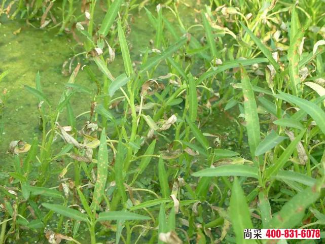 作物药害的症状表现,引起原因,作物药害怎么解决?