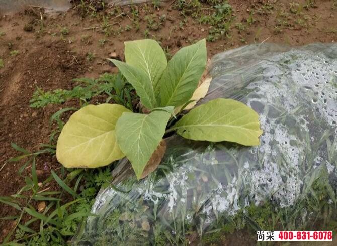 烟草大田期根结线虫病植株矮化变黄,高矮不一