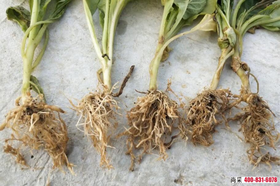 烟草根结线虫病根部表现大小不一的圆形或者不规则形的根结