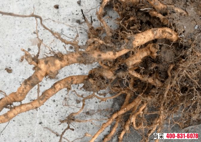 """烟草根结线虫病严重时,整个根系变粗看起来像""""鸡爪状"""""""
