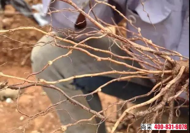 葡萄根结线虫用什么药效果好