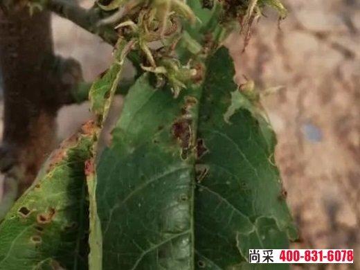 桃树蓟马虫害的防治方法?(附图)