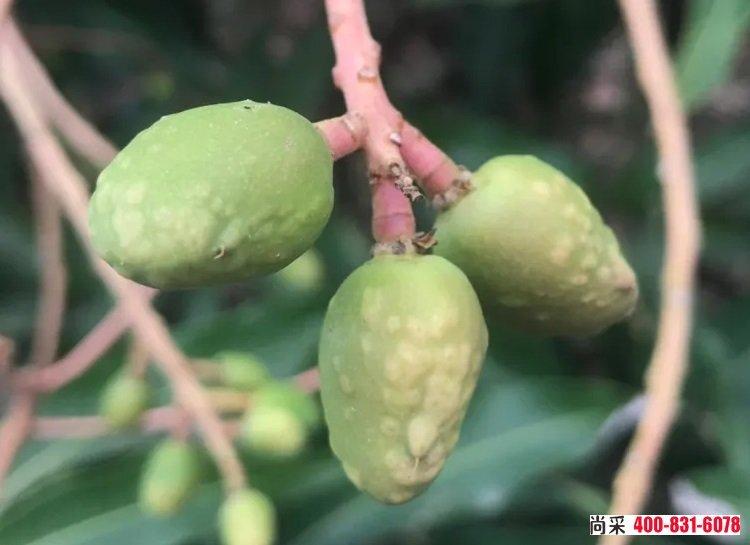 芒果树如何用甲维盐防治蓟马