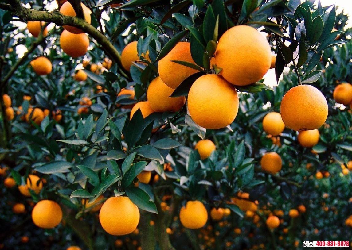 春季蓟马横行,砂糖橘、沃柑、茂谷柑蓟马用什么药?