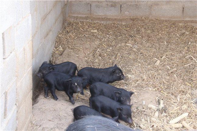 藏香猪繁殖技术可以让藏香猪繁殖成活率更高