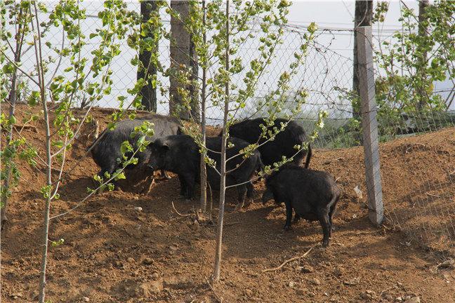 山東藏香豬基地在哪里?