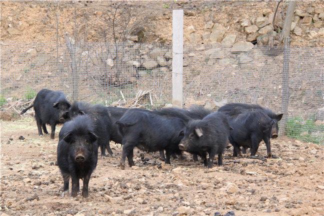 山東藏香豬養殖