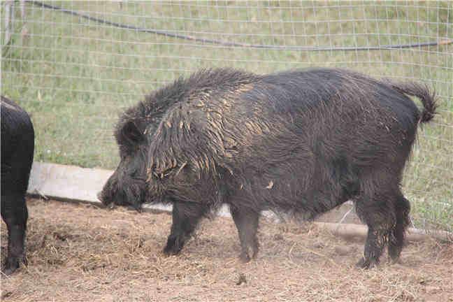 藏香豬養殖飼料