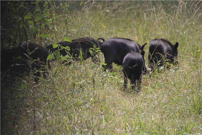 发展藏香猪养殖