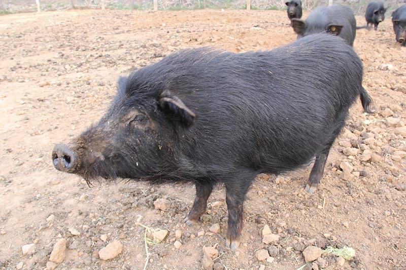 藏香豬成豬