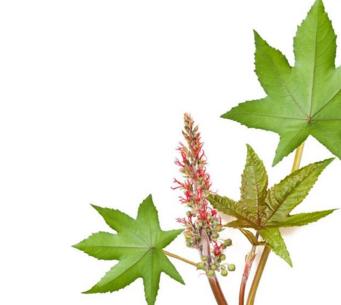 蓖麻油厂家种植栽培技术