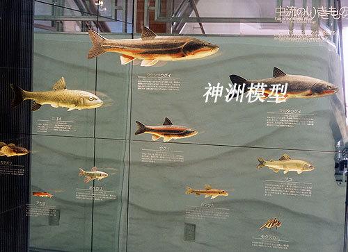 鱼类模型4
