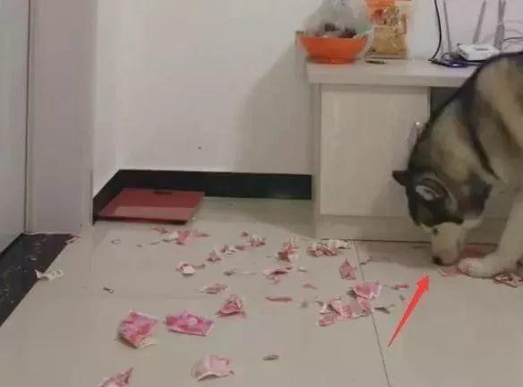 远程电棍拍到二哈在家直播撕钱,主人急得憋出内伤!