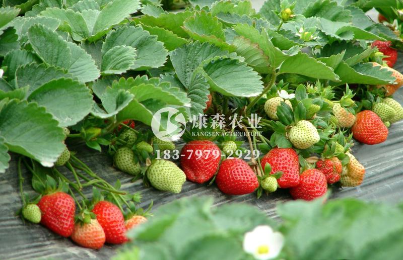 温室大棚种植草莓