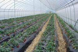 草莓单体温室大棚定制建造