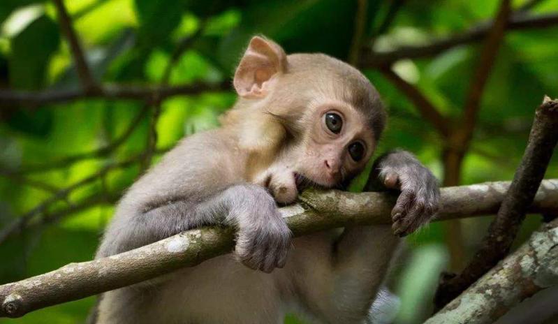 小猴子与豹成为邻居