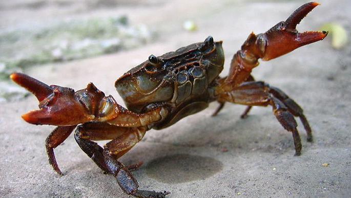 霸道的螃蟹