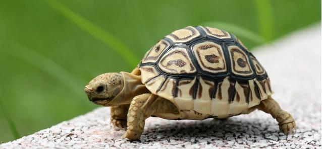 一只乌龟与鸭子