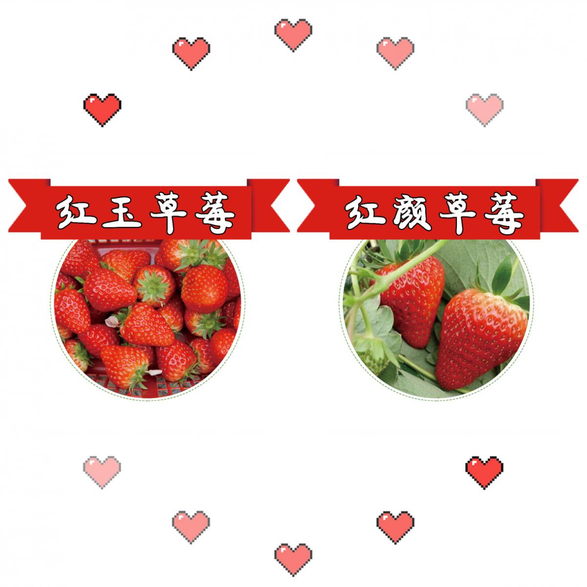 原生态有机草莓现摘送货上门,仅限巴南!