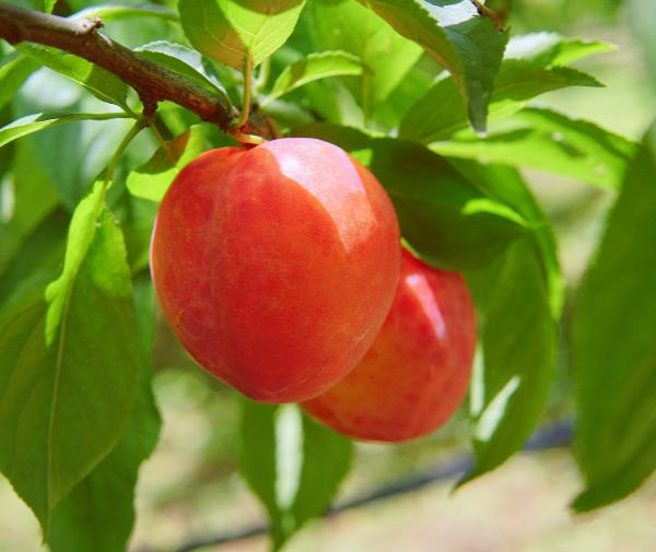 开园通告|云篆猕香的蓝莓、突围桃、秋姬李开摘了!