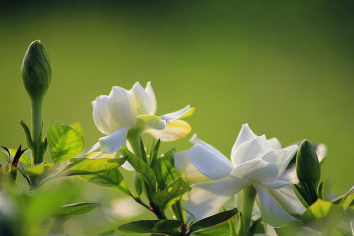 栀子花的花语与它的传说