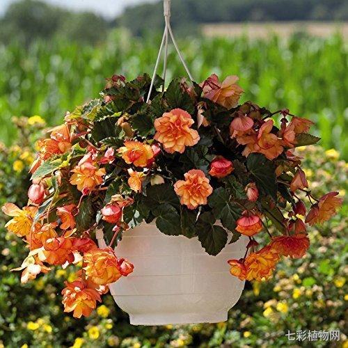 垂吊四季海棠为什么要种5棵?种1棵难道不够吗?