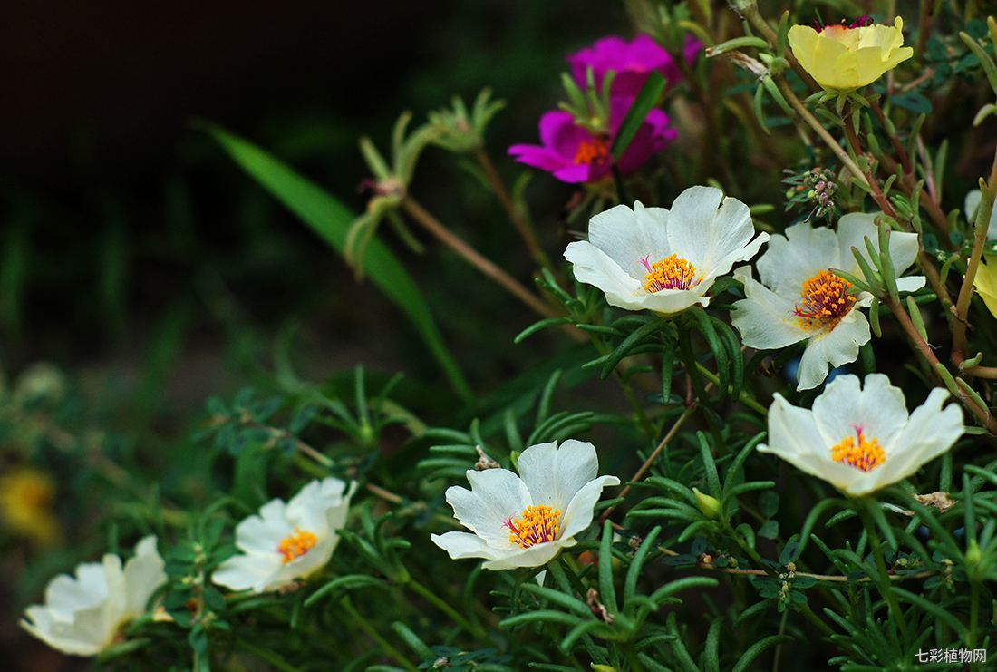 太阳花该如何种植开出的花才会更多?