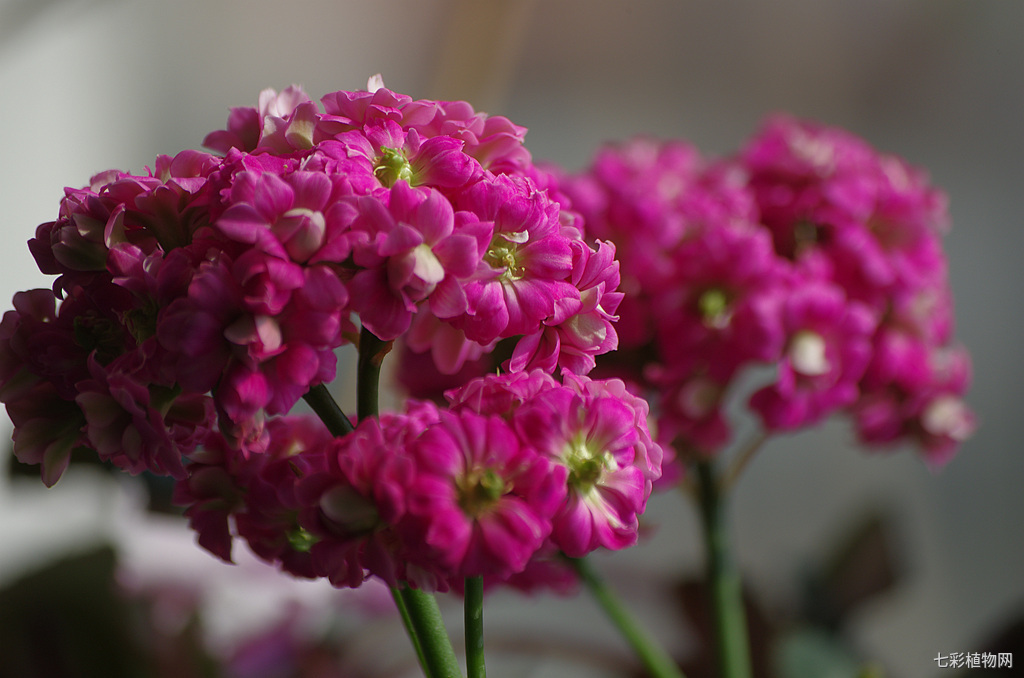 长寿花的种植方法