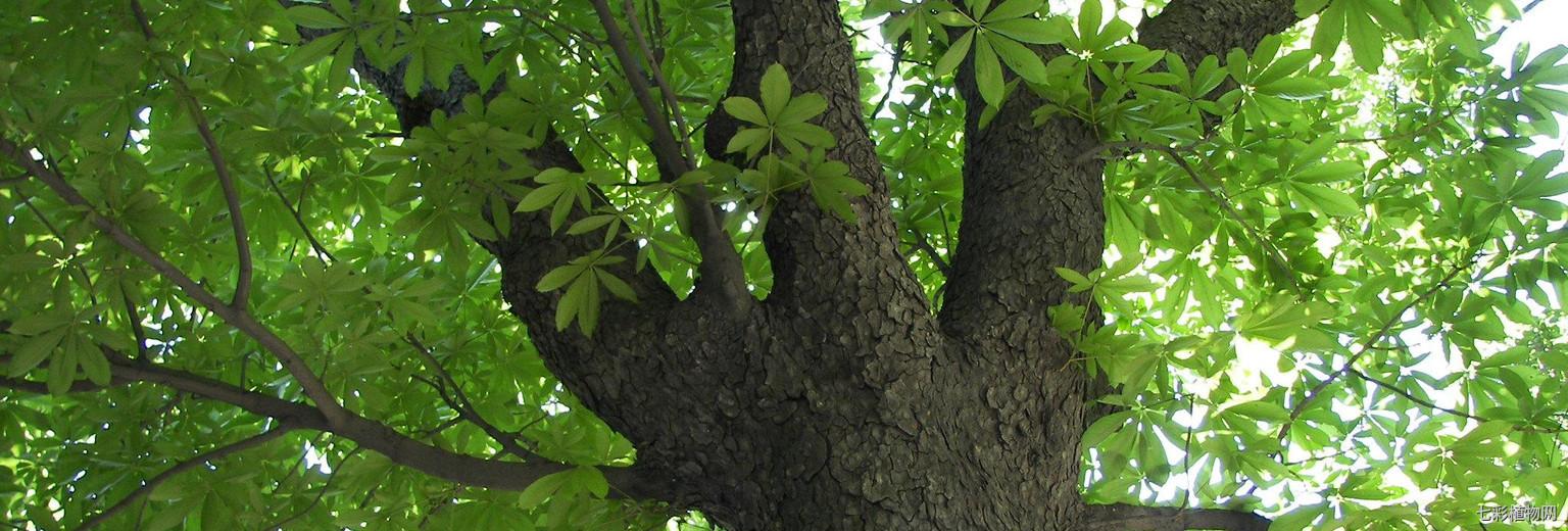 菩提树的形态特征