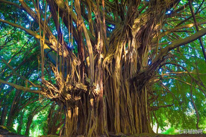 菩提树的价值