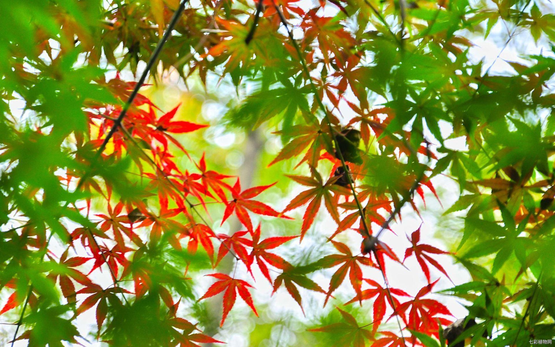 枫叶变红的原因