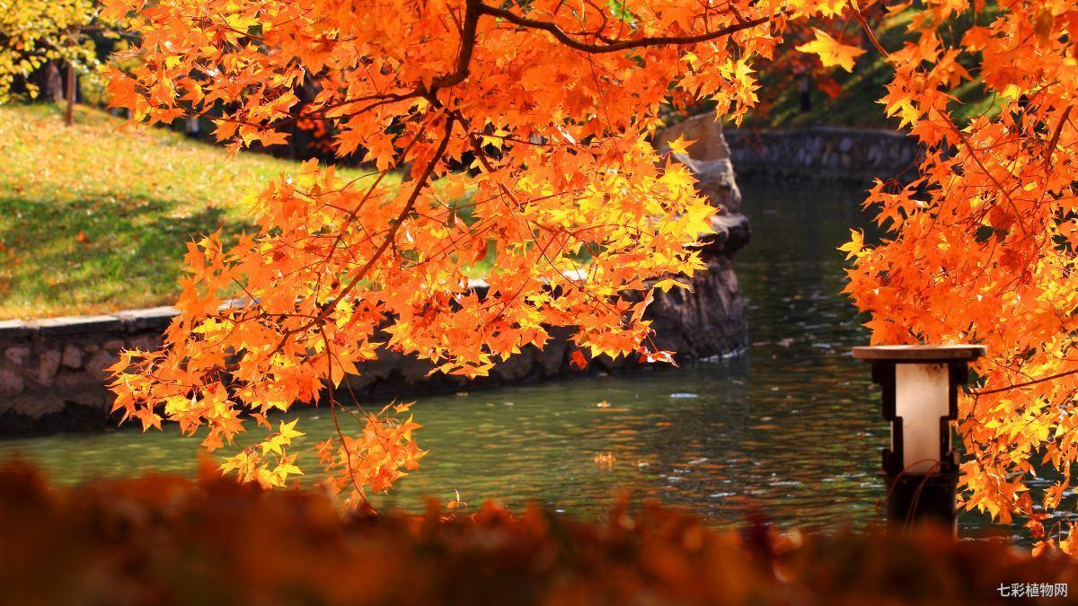 秋季的观赏植物——枫树,该如何栽种以及如何养护?