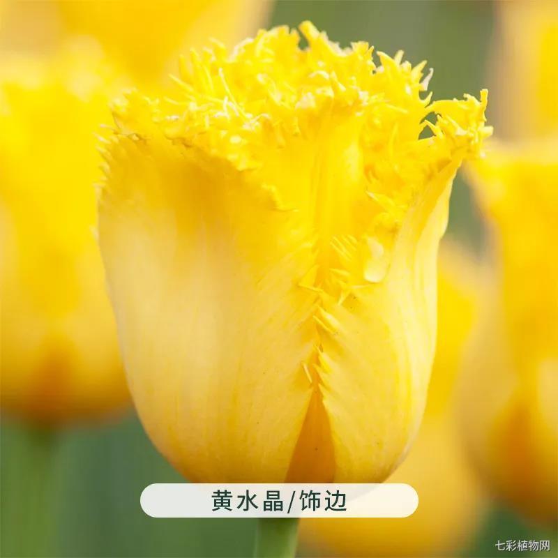 黄水晶-郁金香