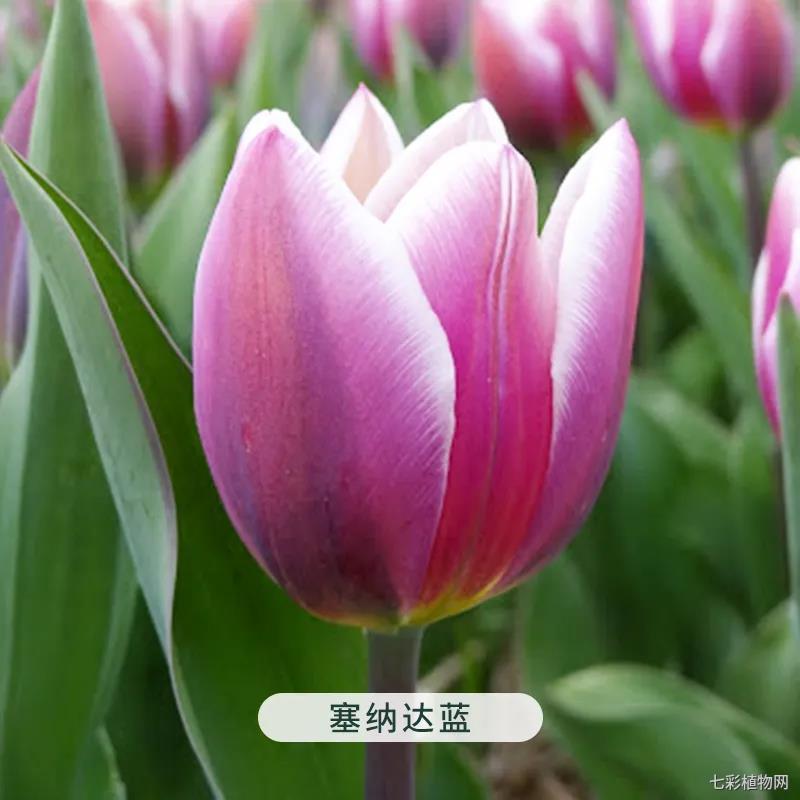 塞纳达蓝-郁金香