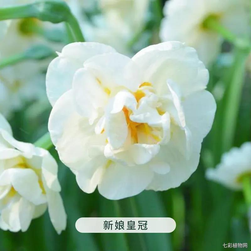 新娘皇冠-洋水仙