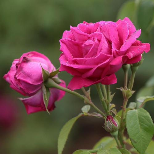 食用玫瑰花有哪些吃法