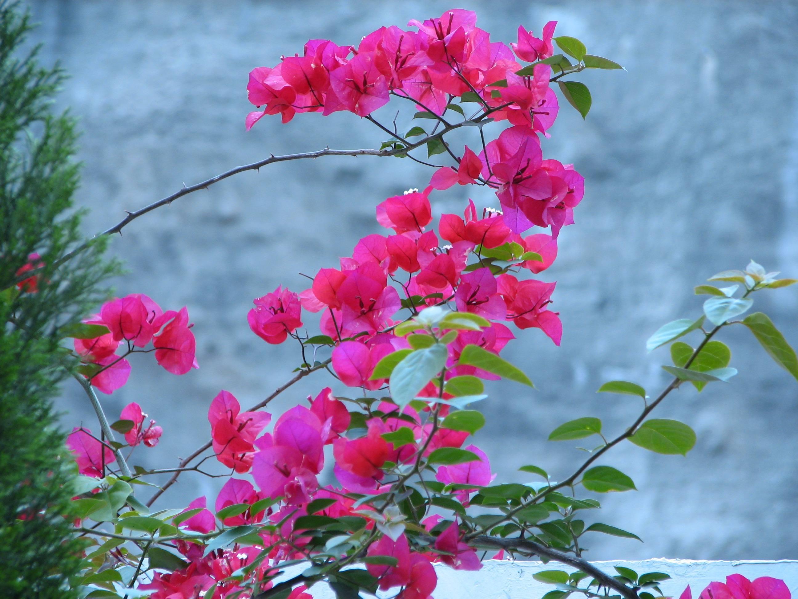 为什么种的三角梅不开花或者开花少?
