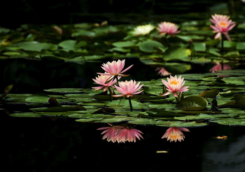 睡莲通常被叫作莲花,睡莲和荷花有什么区别呢?