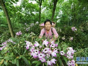 [贵州新闻联播]赤水:金钗石斛花儿开 朵朵都带财富来
