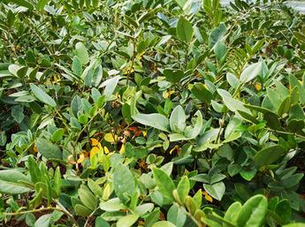 山豆根种植效益怎么样? 前景如何?