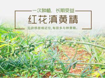 滇黄精种苗 老虎姜种苗 红花大黄精种苗 块径1.5公分上 自然环境生长 成活率高