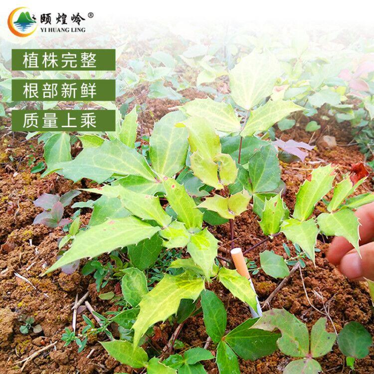 贵州原生态/仿野生阔叶十大功劳木种苗 株高20公分以上 植株完整 成活率高