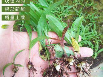 白芨苗批发 白芨苗价格 贵州原生态/仿野生紫花三叉小白芨种苗批发