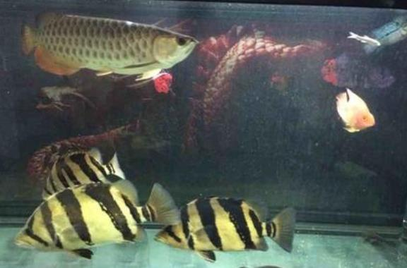 龙鱼虎鱼混养注意事项