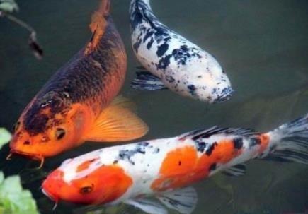 锦鲤鱼如何挑选