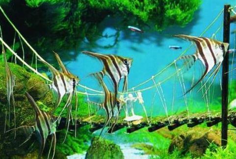 野生秘鲁神仙鱼和普通秘鲁什么区别