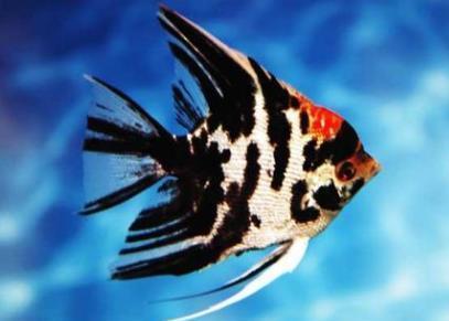 神仙鱼的挑选和鉴别方法